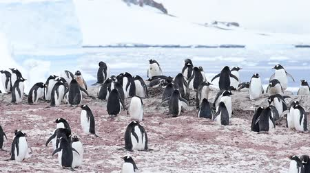 Антарктика : Gentoo Penguins on the nest Стоковые видеозаписи