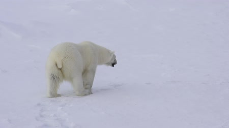 полярный : Polar bear walking on the ice.
