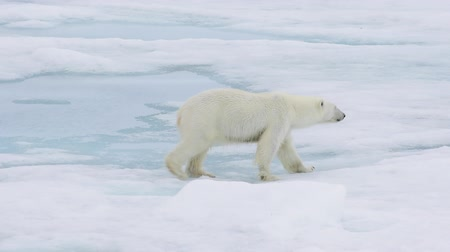 полярный : Polar bear walking in an arctic. Стоковые видеозаписи