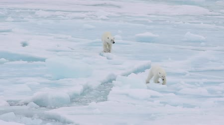 полярный : Polar bears walking in an arctic.