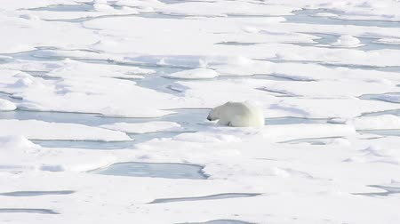 полярный : Polar bear lying on sea ice