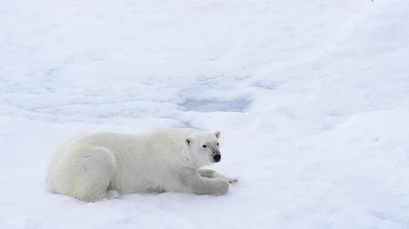 rüzgârla oluşan kar yığını : Polar bear lying on sea ice