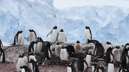 antártica : Chinstrap Penguins on the nest