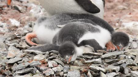 chinstrap : Gentoo Penguins chick on the nest