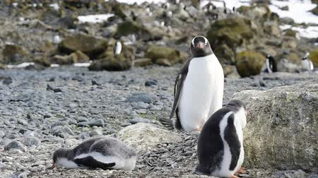 papouasie : Pingouins Gentoo sur le nid