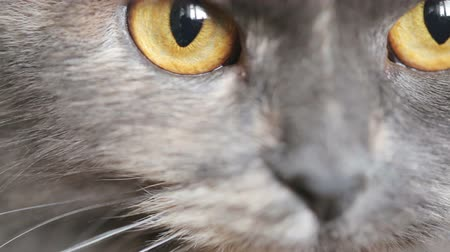 grey cat : Grey Cats eyes closeup Stock Footage