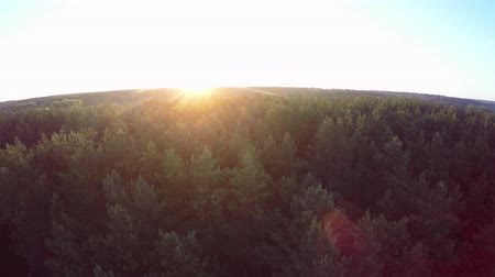 над : Flight above the green coniferous forest at dawn - aerial survey