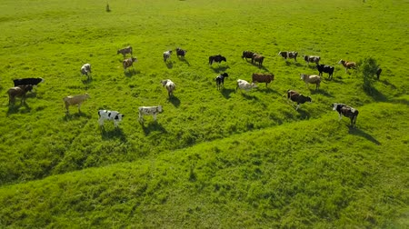 otlama : Flying over green field with grazing cows. Aerial background of country landscape