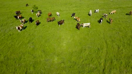 nabiał : Flying over green field with grazing cows. Aerial background of country landscape