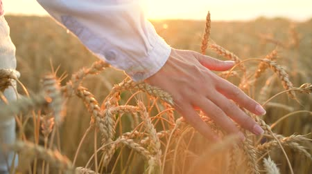 cultivo : Female hand touching wheat on the field in a sunset light. Slow motion Vídeos