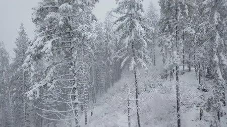 geada : Flight over snowstorm in a snowy mountain coniferous forest, uncomfortable unfriendly winter weather.