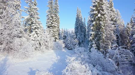 meseország : Flight over snowy mountain coniferous forest. Clear sunny frosty weather