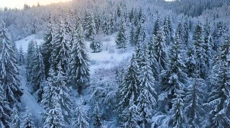 altura : Flight over snowy mountain coniferous forest at sunset. Clear sunny frosty weather Stock Footage