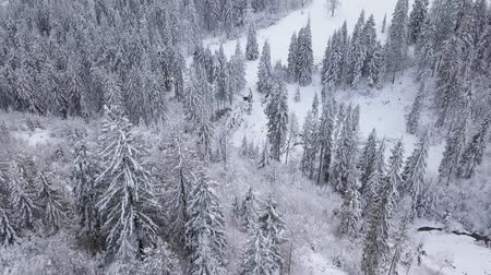 lucfenyő : Flight over snowy mountain coniferous forest. Clear frosty weather Stock mozgókép