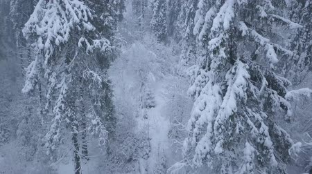 meseország : Flight over snowstorm in a snowy mountain coniferous forest, uncomfortable unfriendly winter weather.
