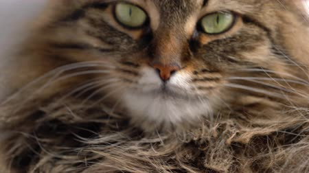 panthers : Cute muzzle of a fluffy tabby cat Stock Footage