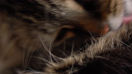 bizarre : Cute muzzle of a fluffy tabby cat Stock Footage