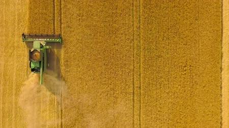 otruby : Top view combine harvester gathers the wheat at sunset. Harvesting grain field, crop season Dostupné videozáznamy