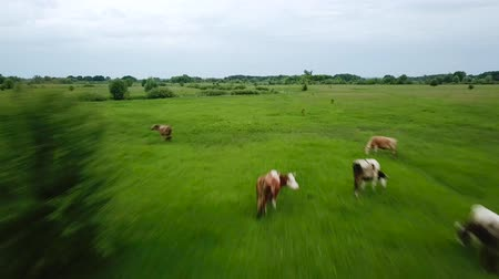 cow flies : Flying over green field with grazing cows. Aerial background of country landscape