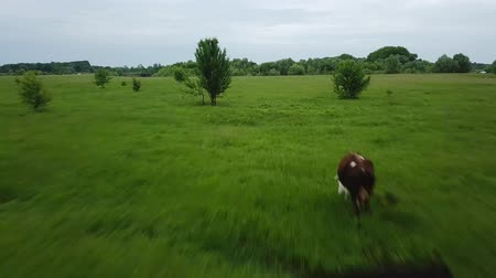 cow flies : Flying over green field with grazing cows. Aerial background of country landscape. Shooted at different speeds: normal and fast