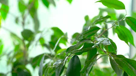 ficus : Sprayed water is falling on the leaves of a green plant. Close-up