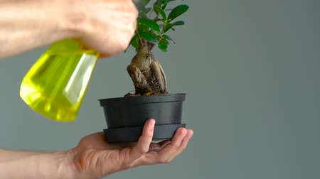 ficus : Mens hands are sprayed with bonsai. Close-up