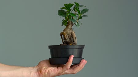 houseplant : Pot with bonsai in a mans hand. Close-up. Slow motion