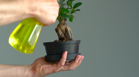 ficus : Mens hands are sprayed with bonsai. Close-up. Slow motion Stock Footage