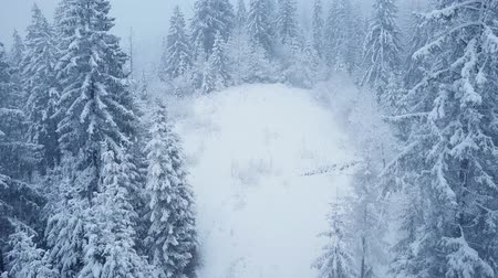 dżungla : Flight over snowstorm in a snowy mountain coniferous forest, uncomfortable unfriendly winter weather.