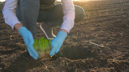 gleba : Female farmer puts a seedling prototype in the ground