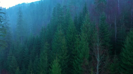 pin : View from the height of mountains covered with coniferous forest and morning fog
