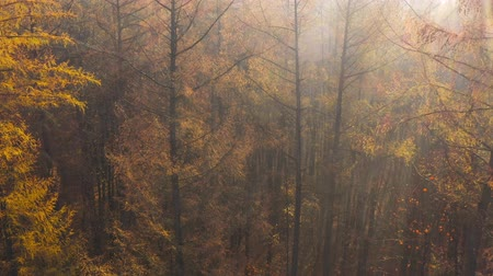 folha : View from the height of the autumn forest. Suns rays break through the fog