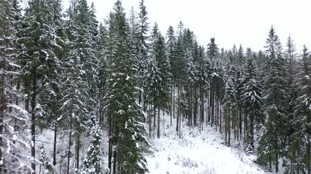 снежинки : Flying through the coniferous forest in the mountains in winter