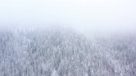 köknar ağacı : Flight over snowstorm in a snowy mountain coniferous forest, foggy unfriendly winter weather. Stok Video