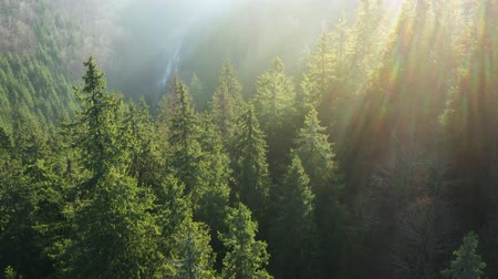View from the height of mountains covered with coniferous forest and morning fog. Dawn Stock Footage