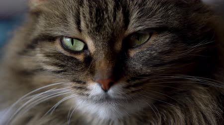 Cute muzzle of a tabby domestic cat close up