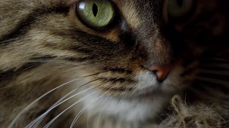 любопытство : Cute muzzle of a tabby domestic cat close up
