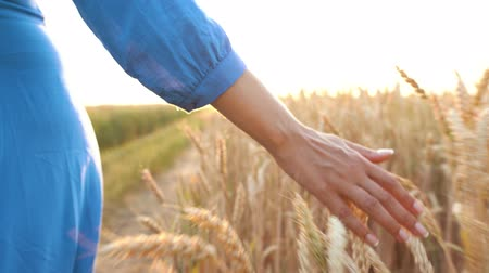 ŻÓŁty : Female hand touching wheat on the field in a sunset light