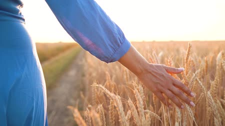 ekili : Female hand touching wheat on the field in a sunset light. Slow motion Stok Video