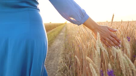 ŻÓŁty : Female hand touching wheat on the field in a sunset light. Slow motion Wideo