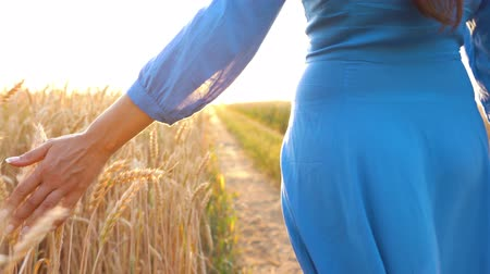 organik gıda : Female hand touching wheat on the field in a sunset light