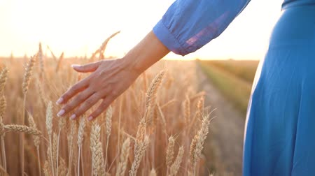 organik gıda : Female hand touching wheat on the field in a sunset light. Slow motion Stok Video