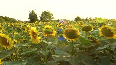 kwiaty polne : Woman in a blue dress and hat walks among the sunflowers across the field. Agriculture