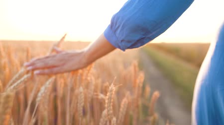 oats : Female hand touching wheat on the field in a sunset light. Slow motion Stock Footage