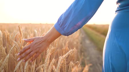 harvesting : Female hand touching wheat on the field in a sunset light. Slow motion Stock Footage