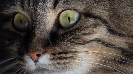 кошачий : Cute muzzle of a tabby domestic cat close up