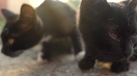 любопытство : Portrait of homeless cute black kittens outside Стоковые видеозаписи