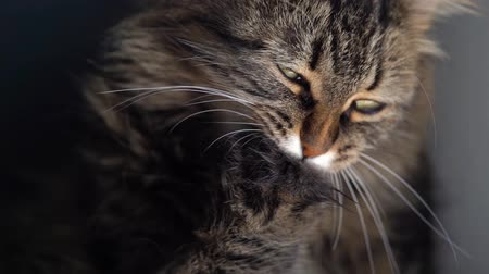 tlapky : Cute tabby domestic cat washing up close up Dostupné videozáznamy