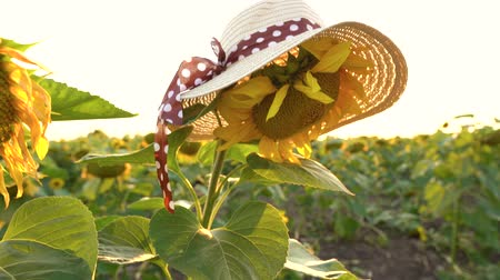kwiaty polne : Sunflower field at sunset. Funny concept - sunflower dressed in a female hat Wideo