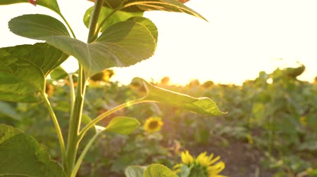 nicely : Sunflower field at sunset. Funny concept - sunflower dressed in a female hat Stock Footage